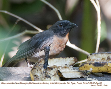 Black-cheeked Ant-Tanager A84442.jpg