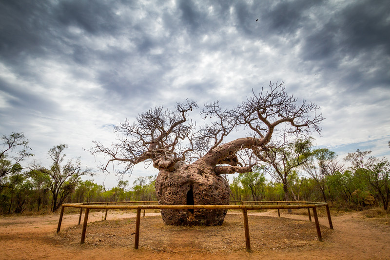 Boab(ab) tree, Adansonia gregorii, Derby, Western Australia, used as an prison for aboriginal people on their way to sentencing, 1800s.