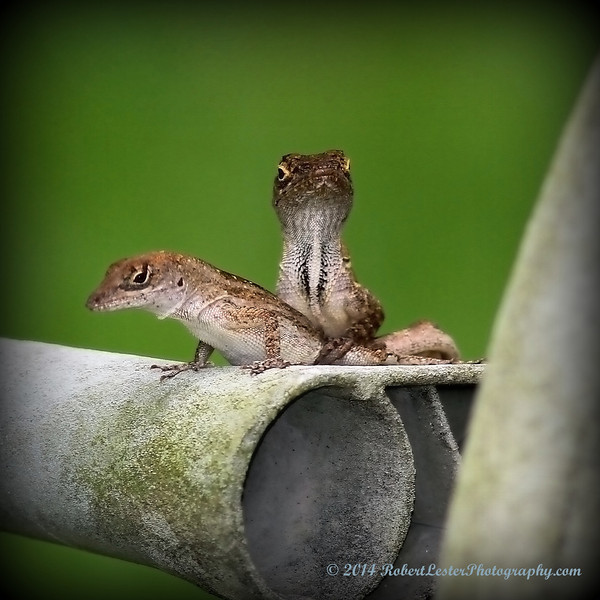 2014-06-01_IMG_0564__Brown Anole ,Clearwater,Fl..JPG