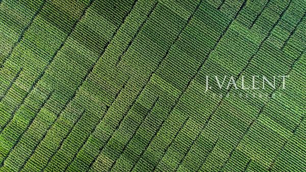 Corn - Vegetative