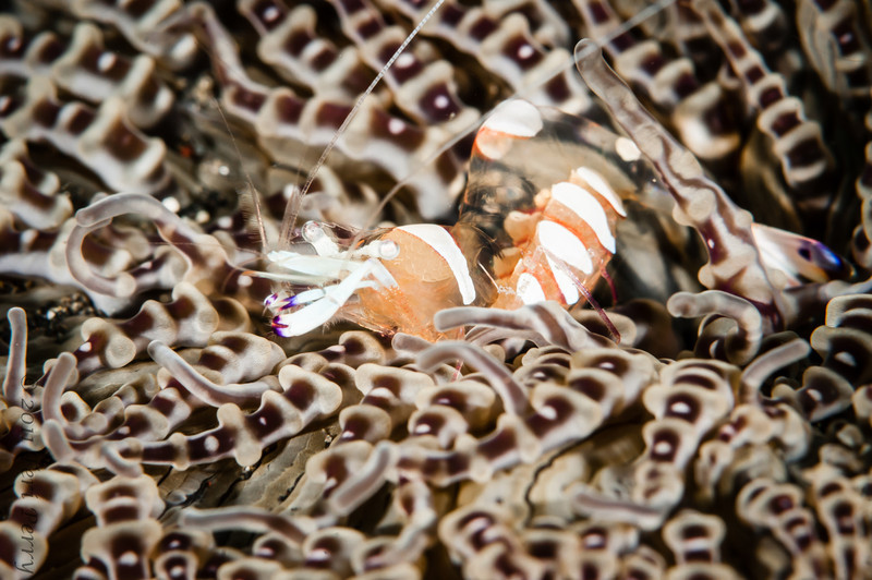 shrimp cleaner on anemone-6954.jpg