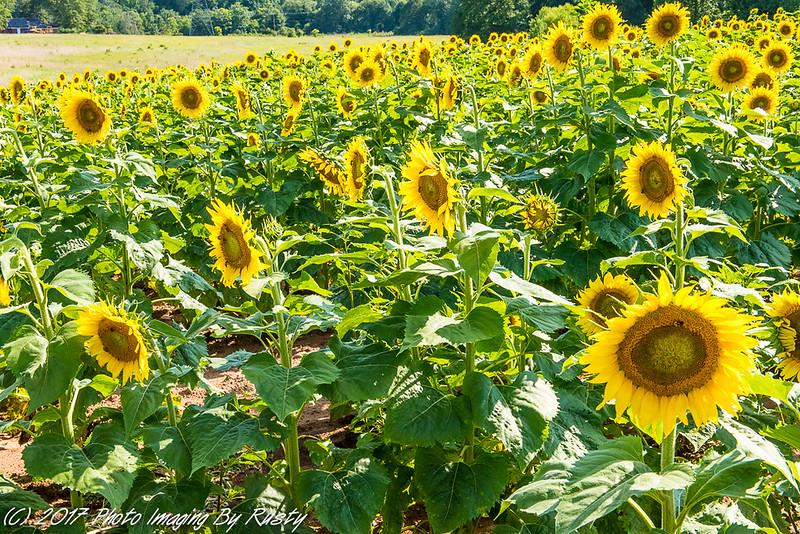 Sun Flowers-7.JPG