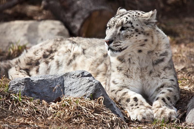 Snow Leopard, Calgary Zoo April 11