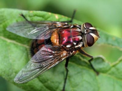 Flies, Mosquitos & Midges - order Diptera