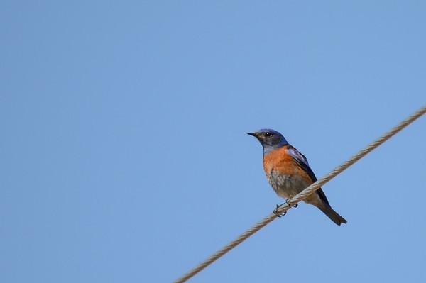 3 2013 Mar 26 Male Western Bluebird,  Male Mountain Bluebird & a Rooster