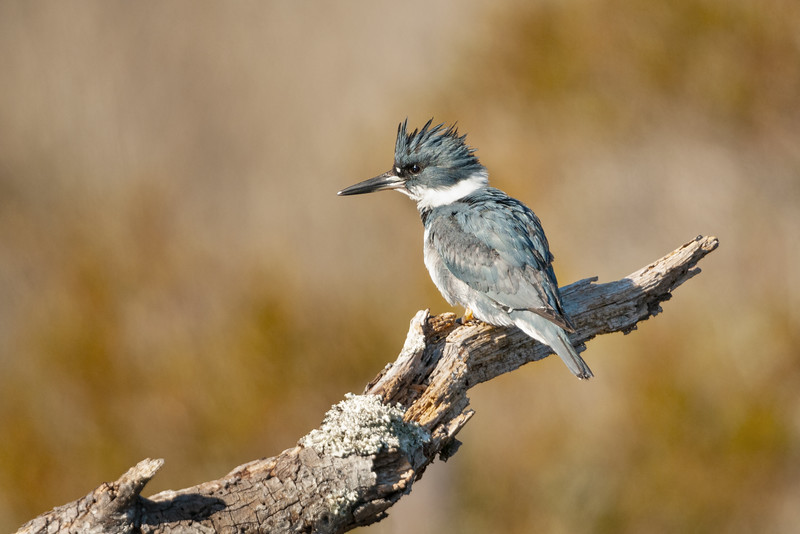 Belted Kingfisher Female Three.jpg