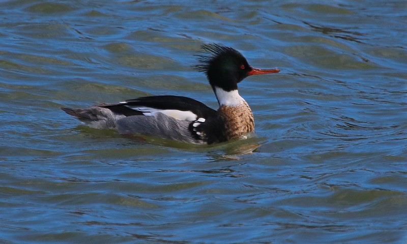 Adult male Red-breasted Merganser in breeding plumage.