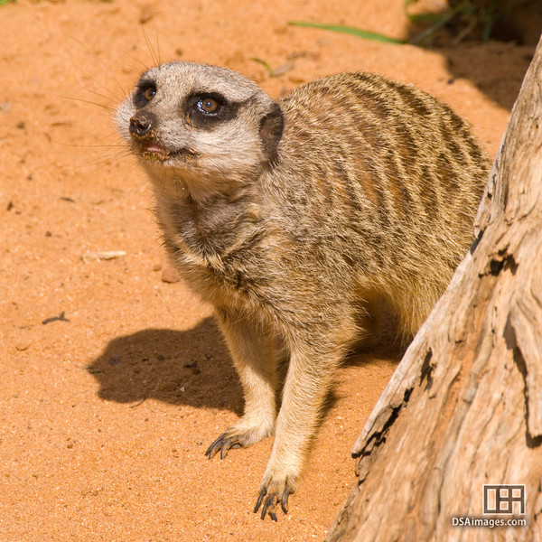 One of the four elderly Meerkat at Monarto