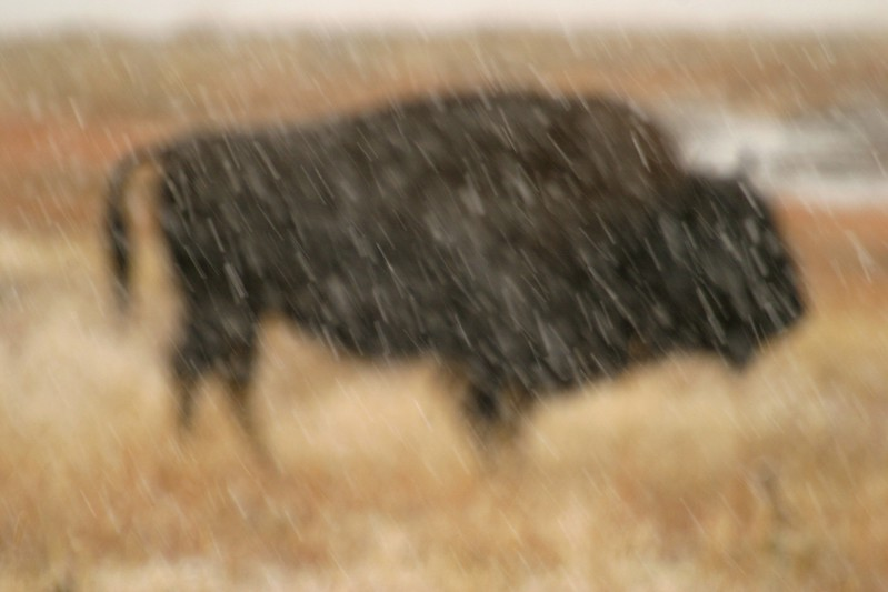 I intentionally focused on the snow, blurring the bison, but the bison's form is so distinct to be easily recognizable [October; Yellowstone National Park, WY]