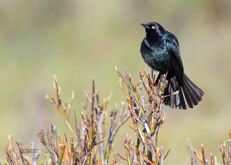 Brewer's Blackbird, Yellowstone NP, WY, USA May 2018-1.jpg