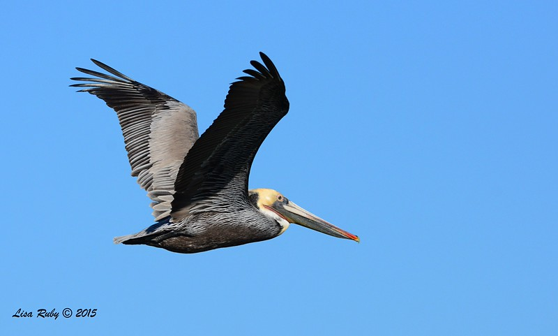 Brown Pelican -  1/17/2015 - Salt Works, Chula Vista
