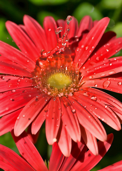 daisy2a-a.jpg