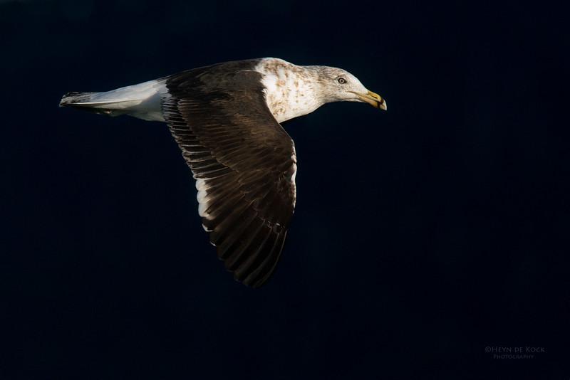 Kelp Gull, Eaglehawk Neck Pelagic, TAS, May 2016-1.jpg
