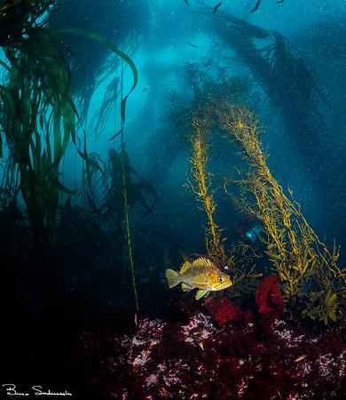 Sebastes atrovirens (kelp rockfish)
