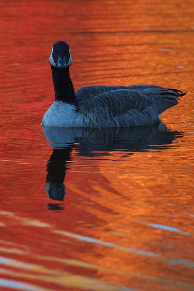 Canada Goose fall color reflection Rock Pond UMD Duluth MN IMG_0067251.jpg
