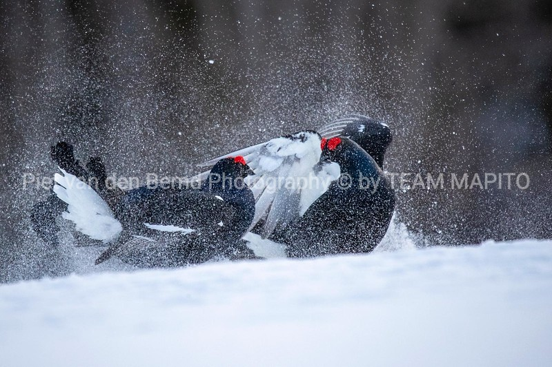 Two Black Grouse (Tetrao tetrix)Two Black Grouse (Tetrao tetrix) lekking in Finland