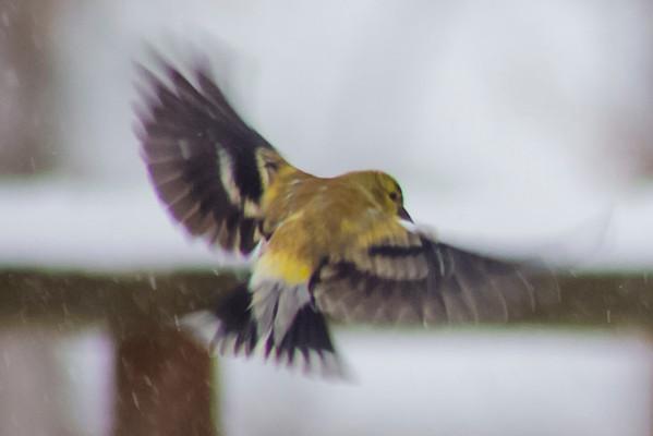 1/7/2017-Birds-in-Snow