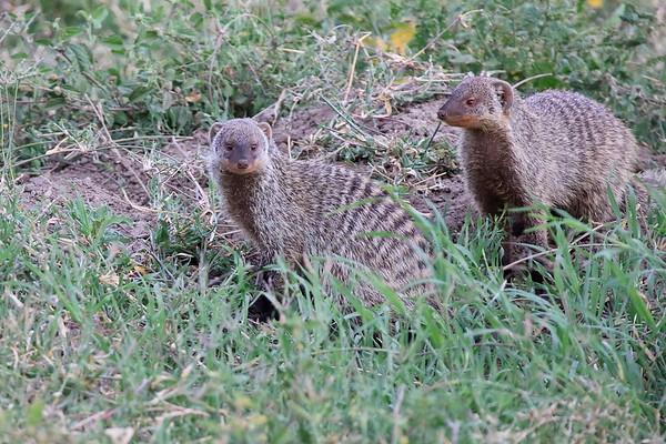 Banded Mongoose Mara North Kenya 2010