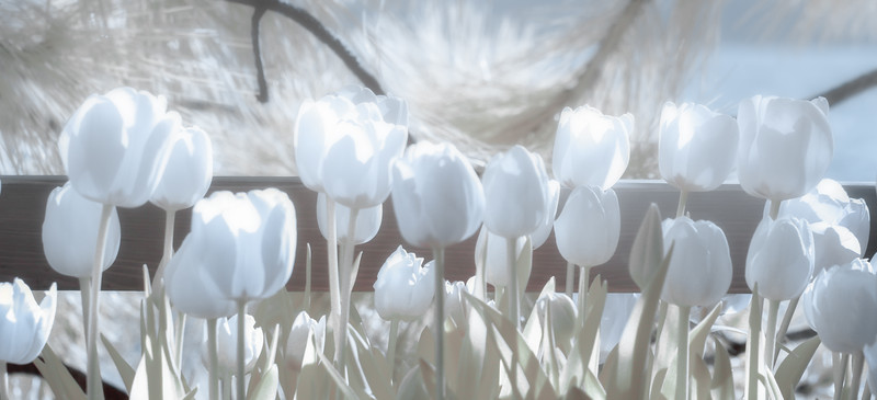 Dreamy Infrared Tulips