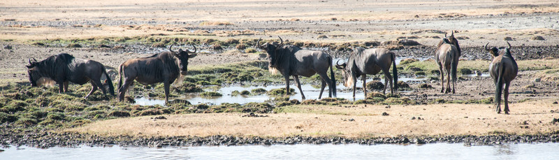 Wildebeest, Nogorongoro