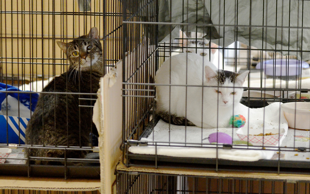 . Jeff Forman/JForman@News-Herald.com Cats look out from their temporary cages, set up in the Rescue Village community room, during a press conference Feb. 26 at the shelter. The room, usually used for social and educational events, is being used to house the more than 60 cats recently seized from Robert Konst, of Bainbridge Township.