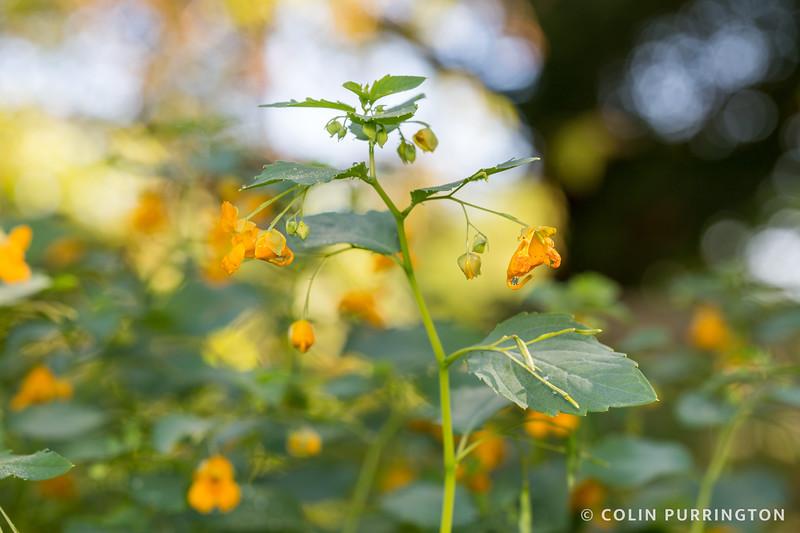 Common jewelweed
