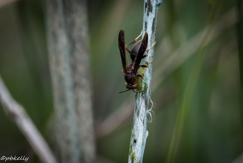 6/15/15.  Wasp grasping prey.