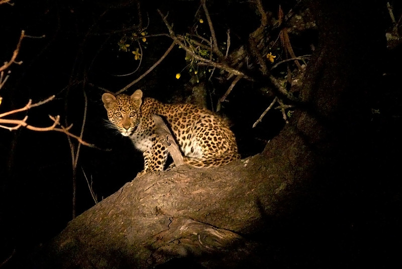 Zambia - Leopard Cub - 0448.jpg