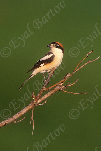 Woodchat Shrike 1.jpg