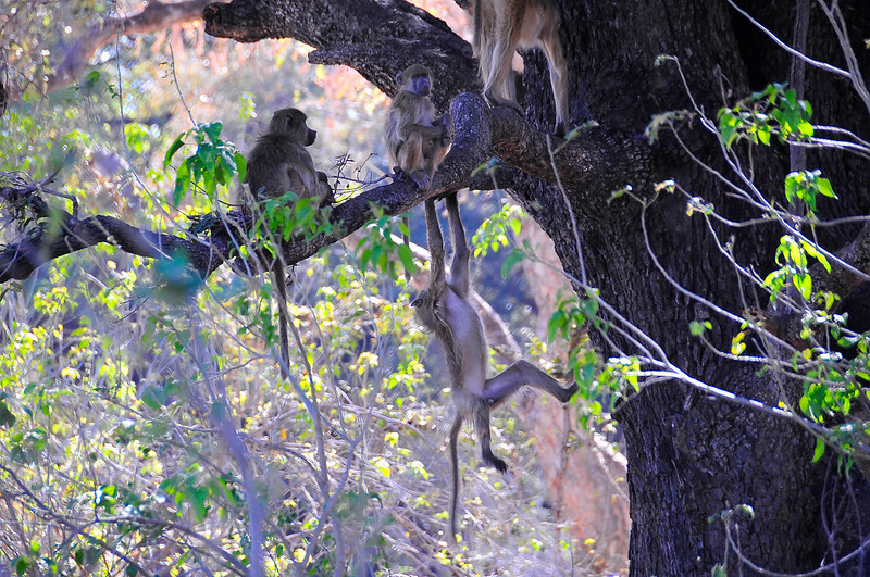 EPV0877 Baboons in a Tree.jpg