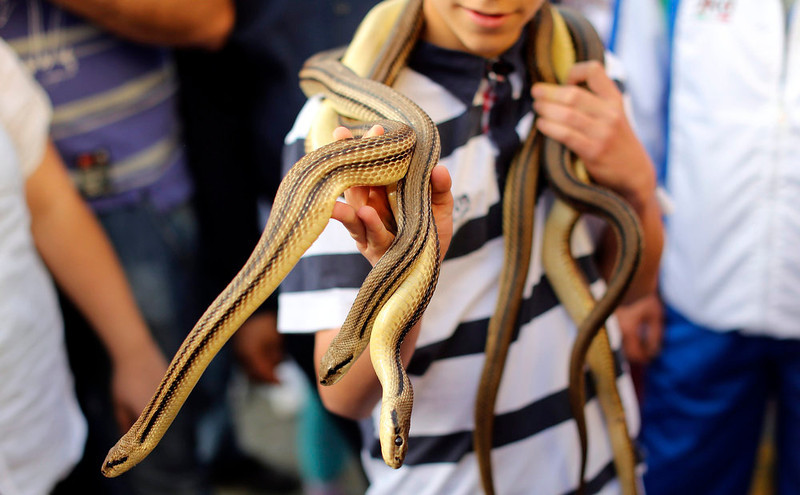 . A boy carries snakes, used to cover a wooden statue of Saint Domenico, during the St. Domenico procession in Cocullo, central Italy May 1, 2013. Every year in May, snakes are placed onto the statue of St. Domenico and the statue is then carried in a procession around the town. St. Domenico is believed to be the patron saint for people who have been bitten by snakes.  REUTERS/Alessandro Bianchi
