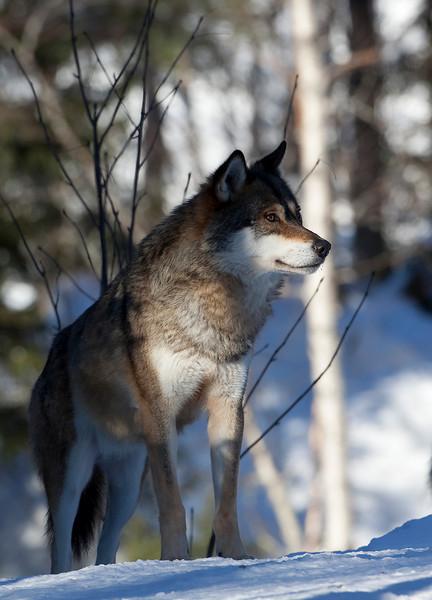Wolf Norway 2.jpg