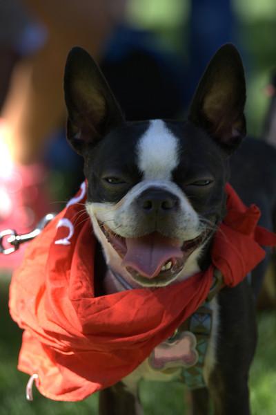boston terrier oct 2010 032.jpg