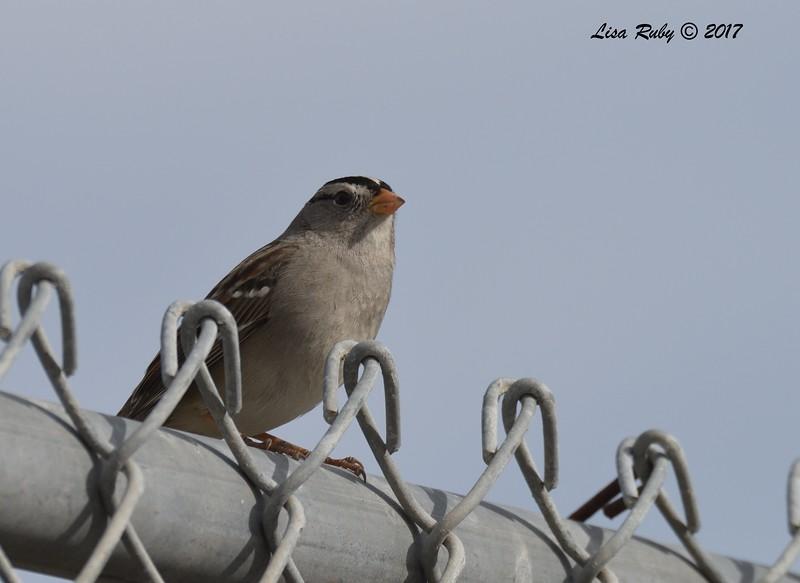 White-crowned Sparrow  - 12/22/2017 - South Creek Park, Sabre Springs