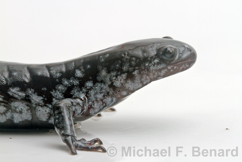 Unisexual Ambystoma
