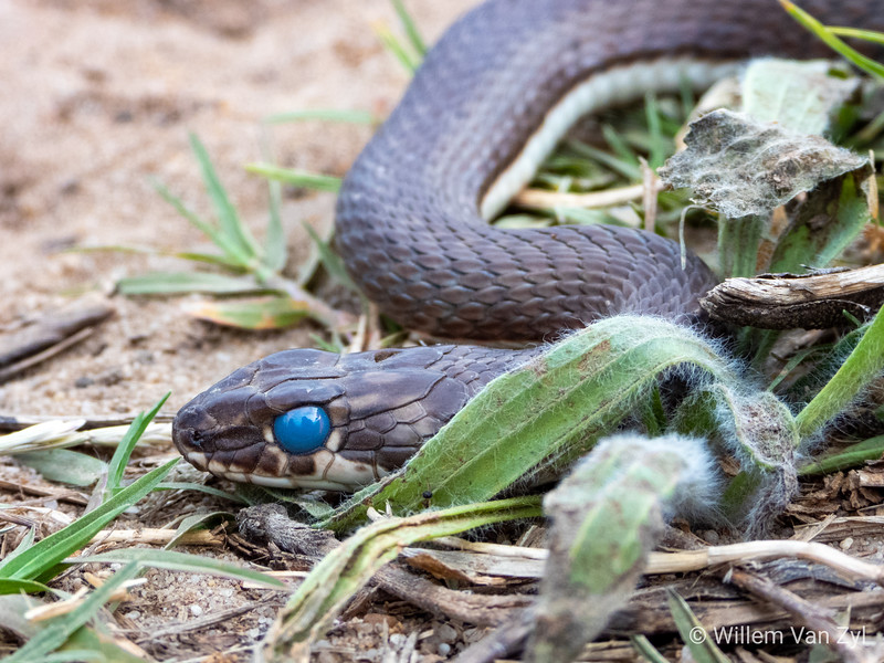20191123 Karoo Sand Snake (Psammophis notostictus) from Philadelphia, Western Cape