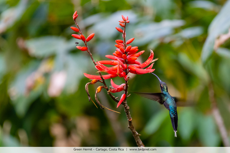 Green Hermit - Cartago, Costa Rica