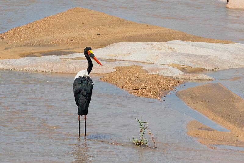 Saddle -billed Stork