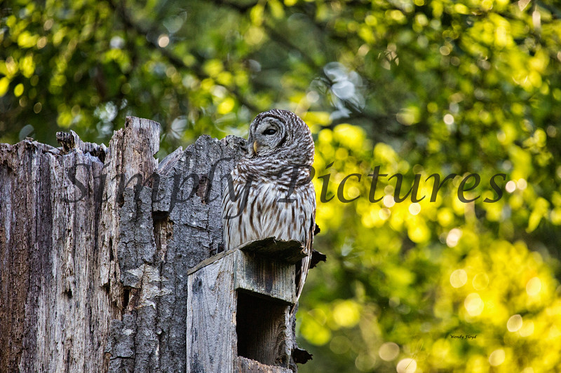 Owl  (12)