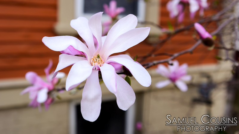 A magnolia flower.