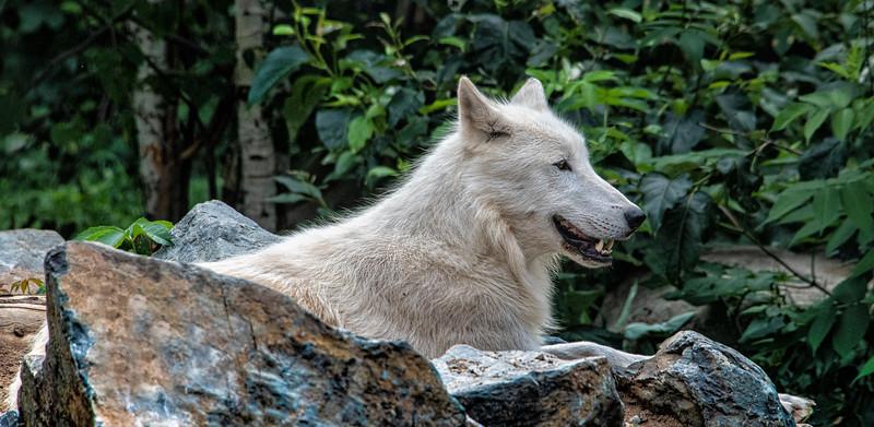Wolf on a Rock.jpg