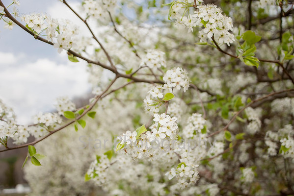 Blossoming Dogwood 04-03-14