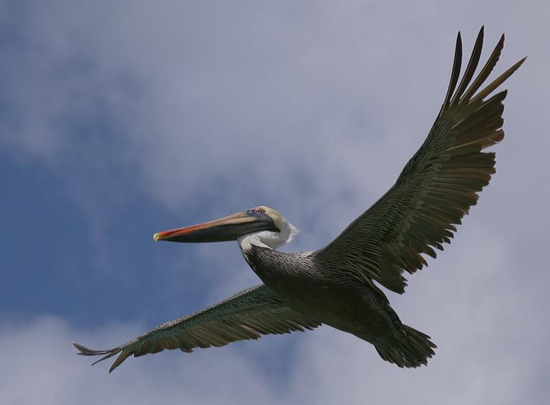 Brown pelican - Playa Wachi, Curaçao