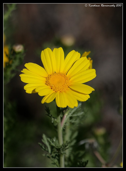 Chrysanthemum coronarium, South Bay Salt Works, San Diego County, California, March 2010