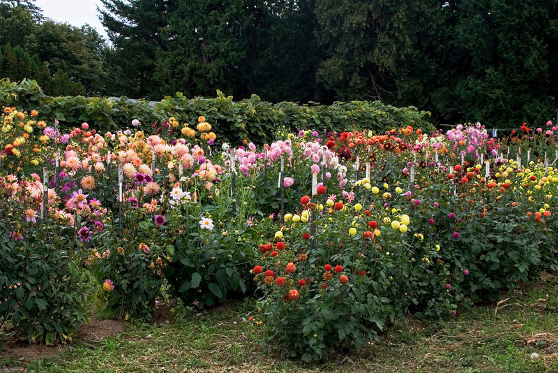 Dahlia Garden 2.jpg
