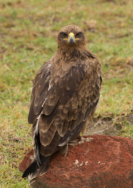 Tawny eagle gives us an evil eye while she scouts for prey.