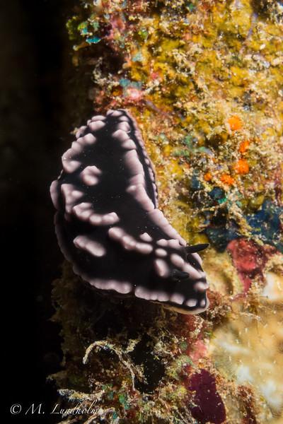Nudibranch (phyllidiella species)