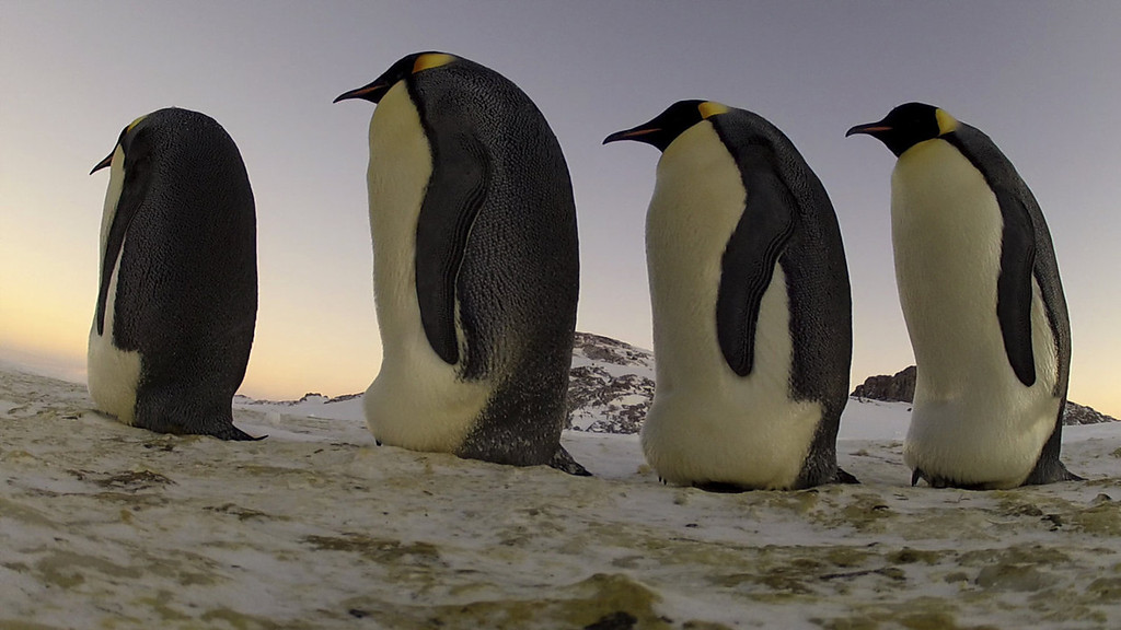 . An Emperor procession.  Antarctica. �Penguins: Waddle All the Way,� premiers Nov. 23 on Discovery. Jane Lynch narrates this two-hour special, a Discovery/BBC co-production from award-winning filmmaker John Downer. (Photo by Frederique Olivier/JDP World All Media)