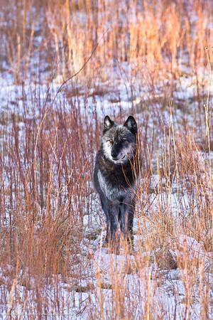 Yellowstone December 2011