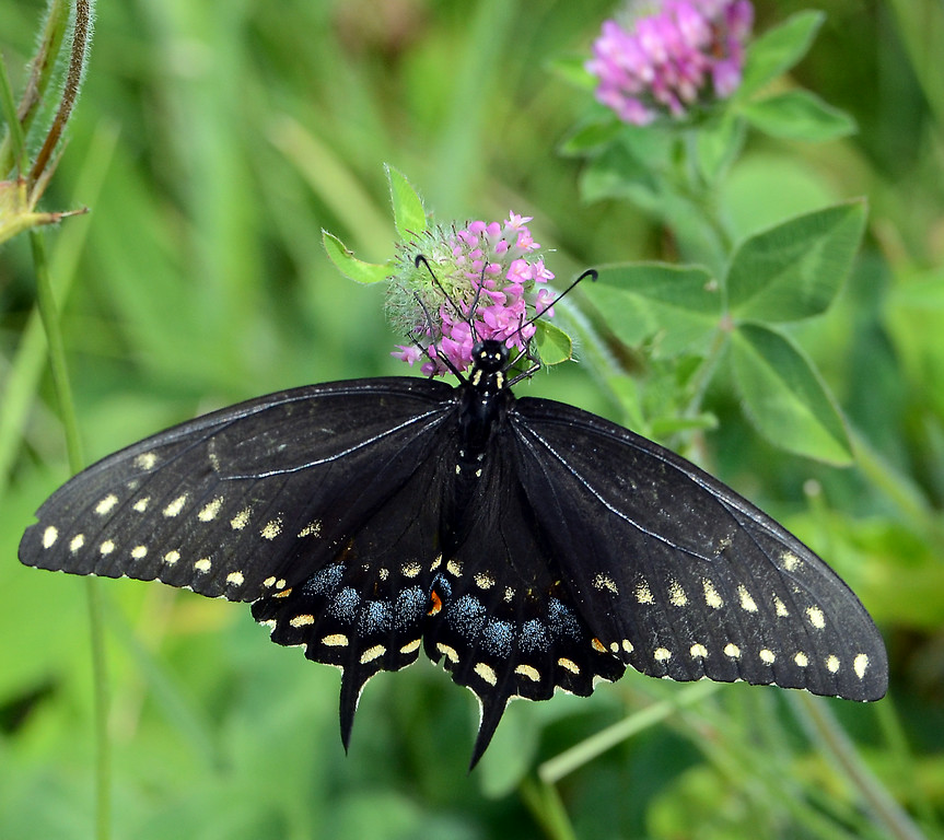 . A Black Swallowtail  suckles on wild flowers in Lower Salford Township on a sunny and pleasant Saturday afternoon July 19,2014.Photo by Mark C Psoras/The Reporter